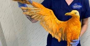 Оранжевая чайка