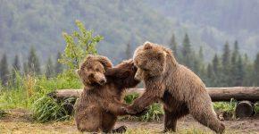 Медведи подрались
