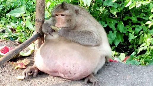 Самая толстая макака в мире