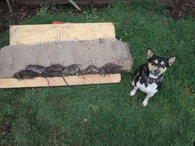 Собака-крысолов с добычей
