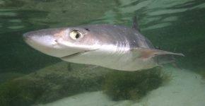 Морская собака акула