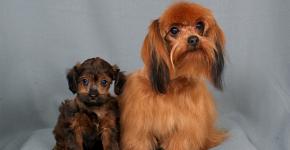 две декоративных собаки