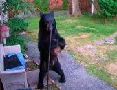 Медведь-дебошир