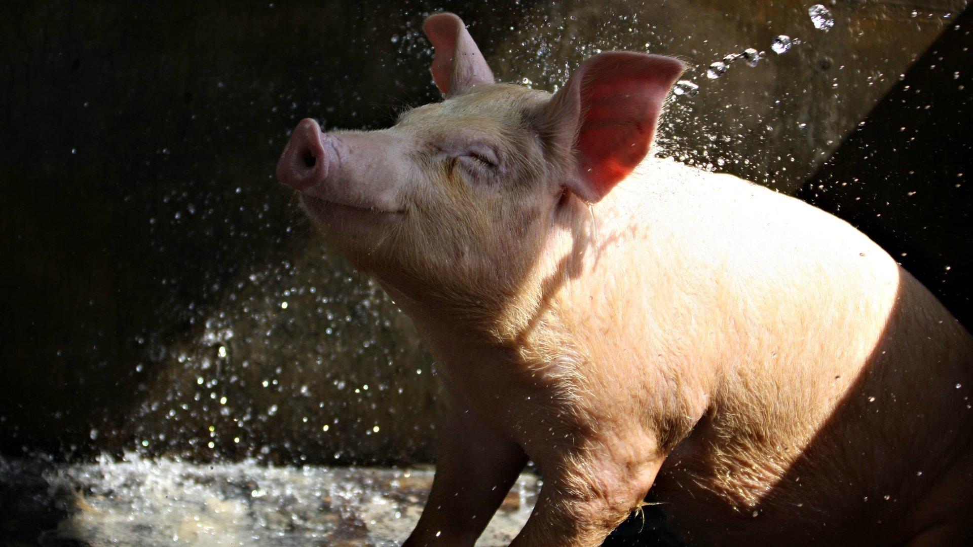 Смешные картинки свиней смешные картинки свиней свиней свиней, днем рождения