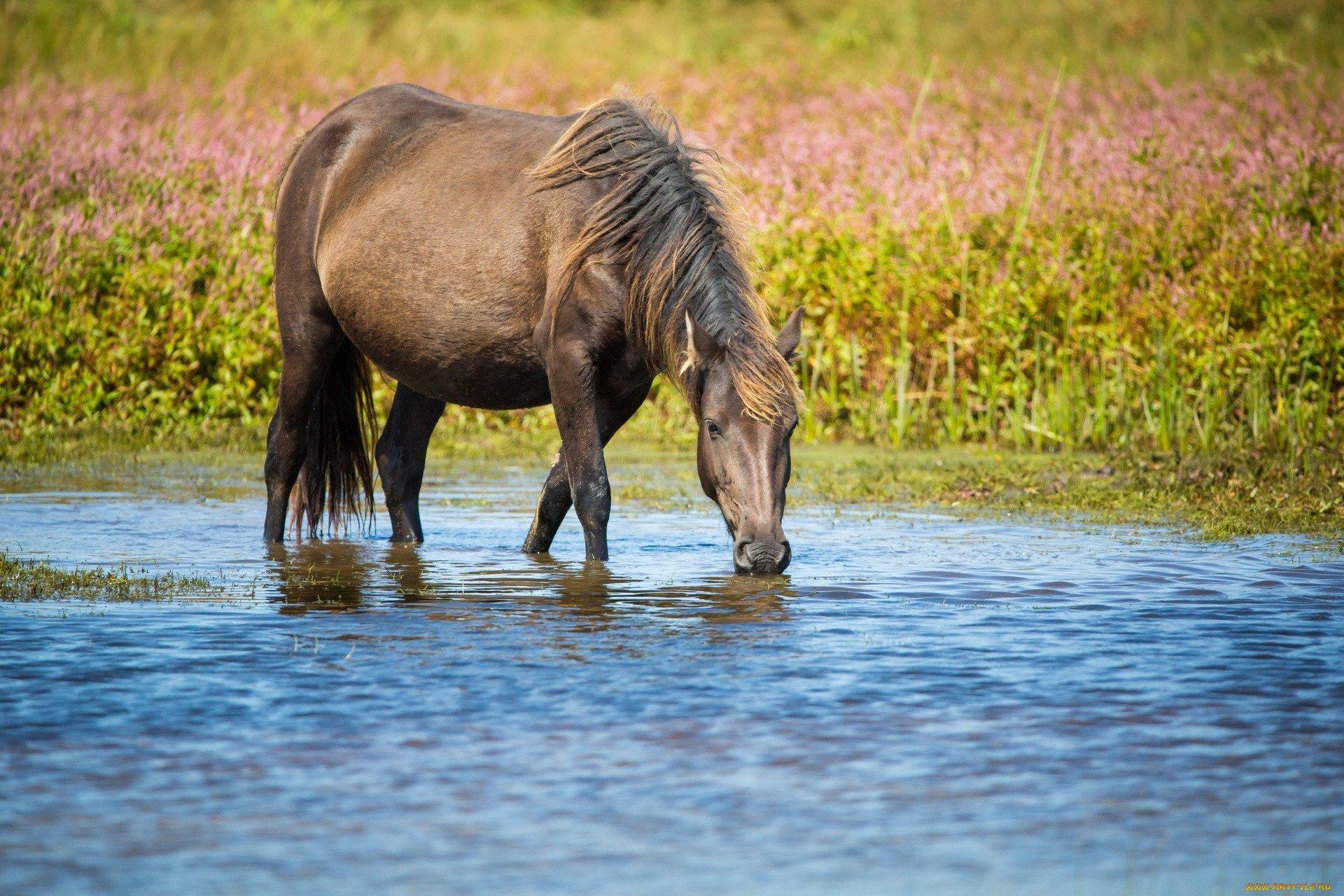Лошадь пьющая воду картинка