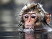 обезьяна в воде