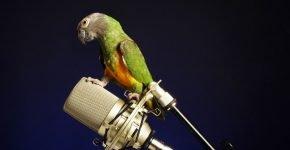 попугай с микрофоном