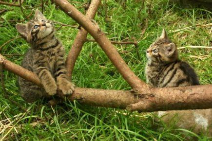 Шотландские дикие котята играют