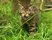 Шотландский дикий котёнок