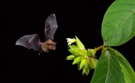 Летучая мышь ест нектар