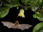 Летучая мышь Glossophaga soricina