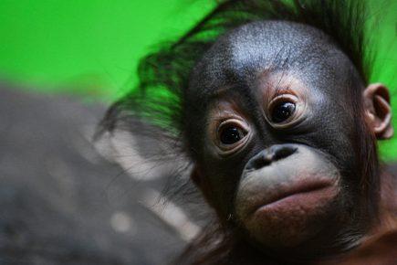 Детёныш орангутана