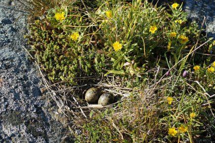 Гнездо крачки