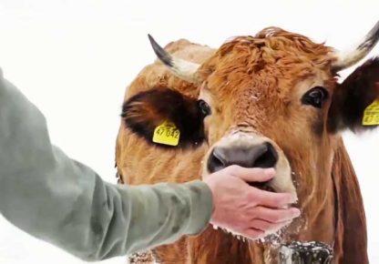 Корова ест