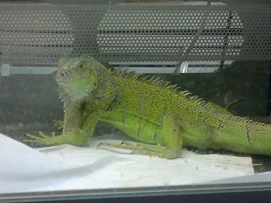 Зелёная игуана