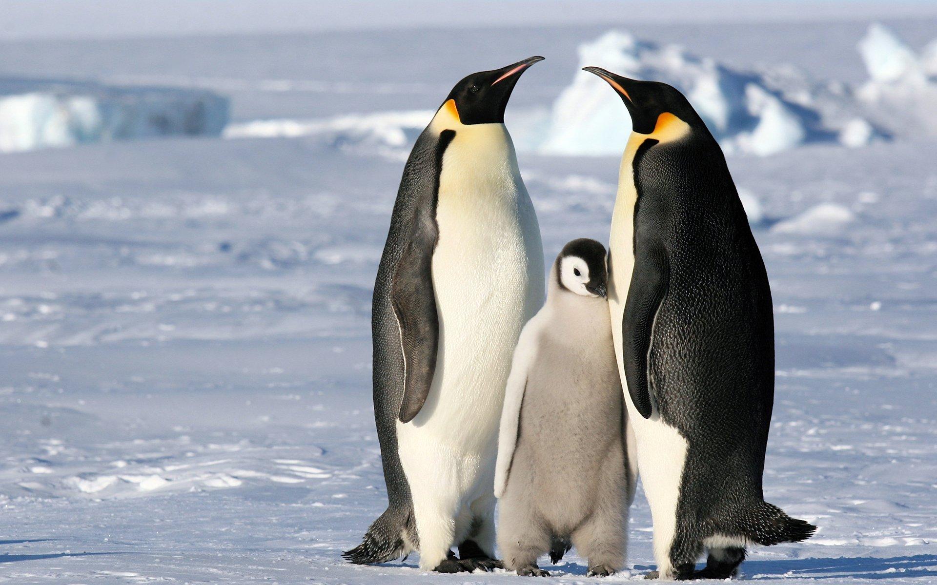картинки антарктического пингвина чтобы фотографии был