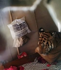 спящая тигрица
