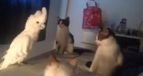 Попугай и кошки