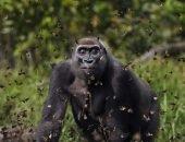 западная равнинная горилла