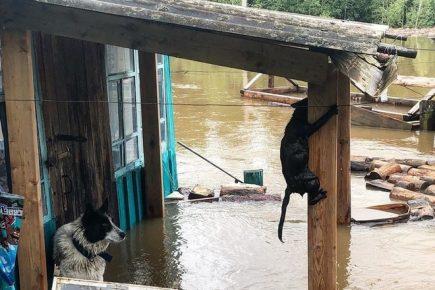 Собака и кот во время паводка