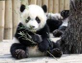детёныш панды