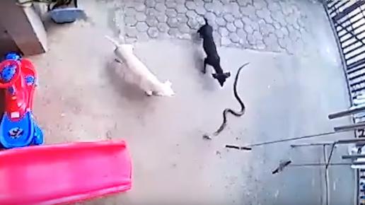 Собаки и змея
