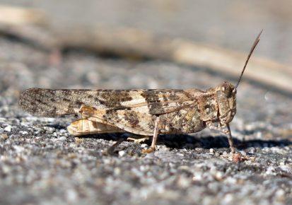 Кузнечик Trimerotropis pallidipennis