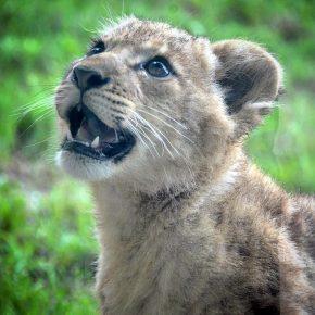 Львёнок из Даллаского зоопарка