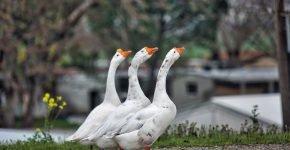 Три гуся