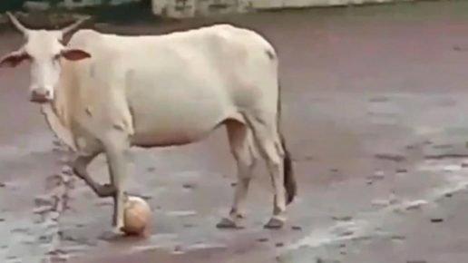 Корова с мячом