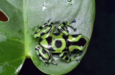 лягушка Dendrobates auratus