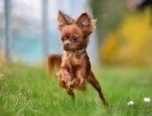 Маленькая собака бежит
