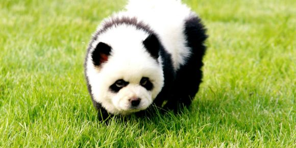 Чау-чау панда щенок
