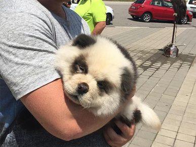 Сочинская чау-чау панда на руках у хозяина
