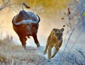 буйвол и лев