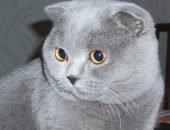 Серый шотландский вислоухий кот