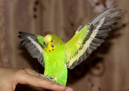 Попугайчик на руке