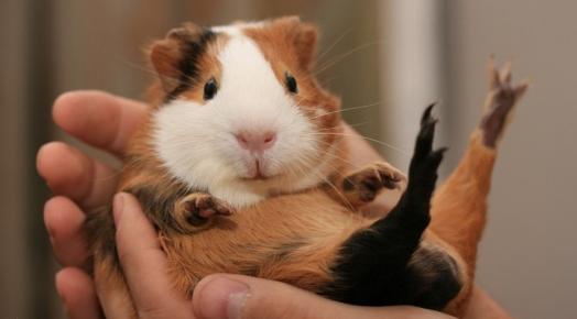 морская свинка в руках