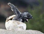 черепаха в яйце