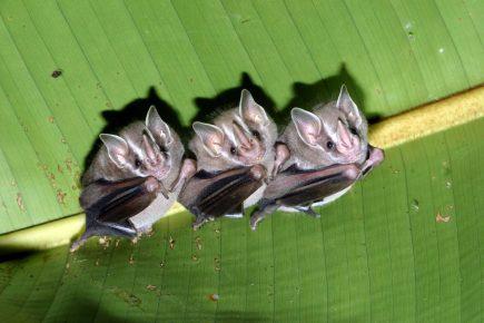 Летучие мыши листоносы