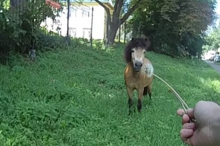 Пони угощают одуванчиком