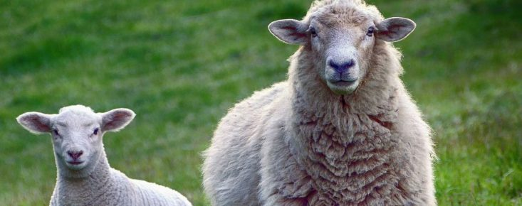 Овца с ягнёнком