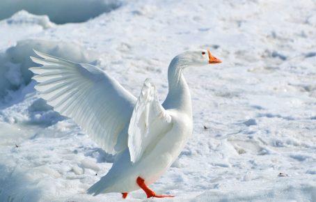 Белый арктический гусь