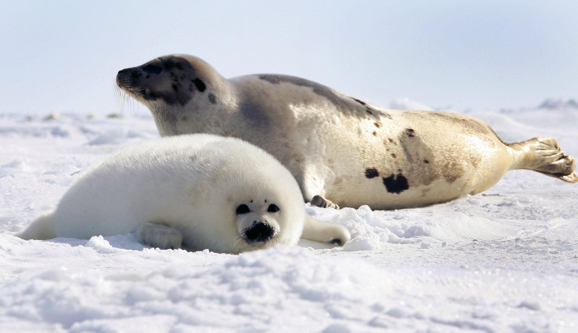 несмотря травму, фото гренландского тюленя что