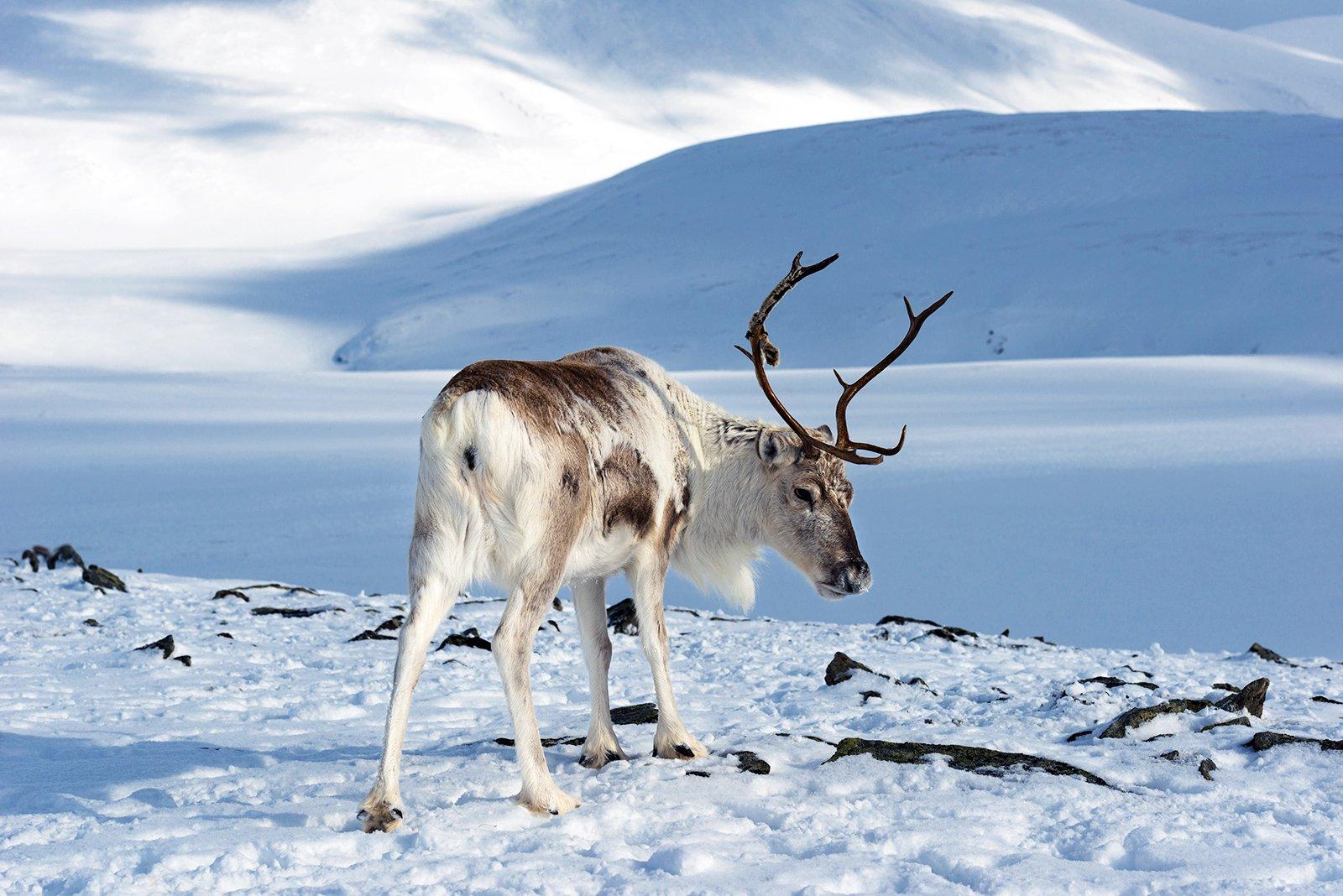 картинки северный олень в арктике атмосфера