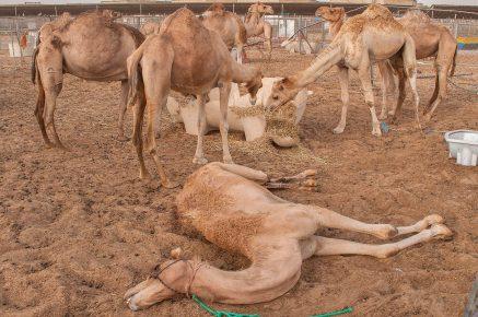 Несколько верблюдов