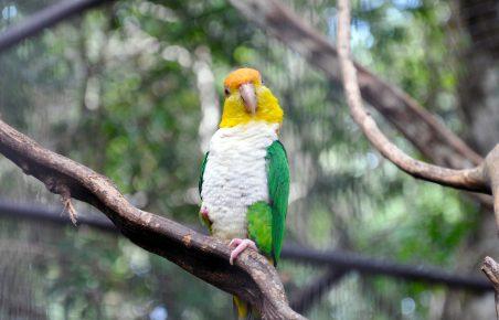 рыжеголовый белобрюхий попугай