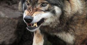 Волк нападает