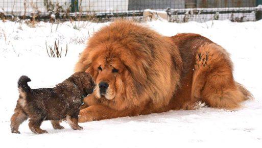 Тибетский мастиф с щенком