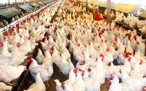 На куриной ферме